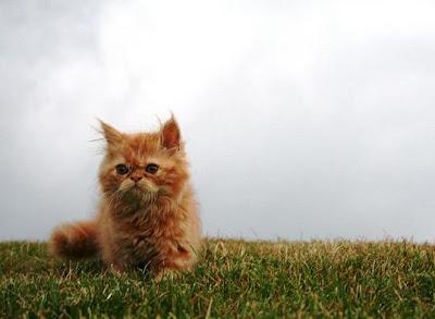 foto kucing persia berbulu orange bernama Lolita