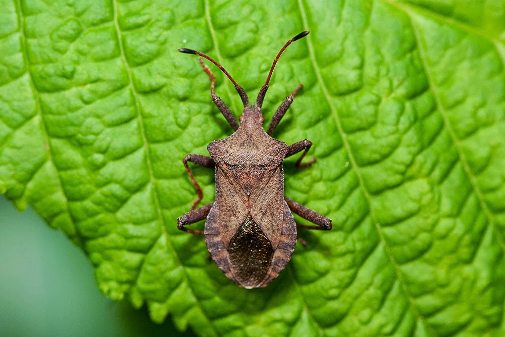 Dock Bug - Great Holm, Milton Keynes