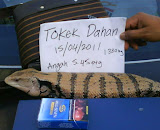 Tokek kayu / dahan