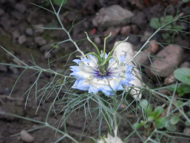 Nigella.  My Garden, October 2015, Autumn Gardening.  secondhandsusie.blogspot.co.uk