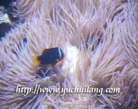 Anemon Laut Kawan Karib Ikan Badut