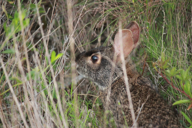 Rabbit Wildlife Perdido Key, FL Beaches