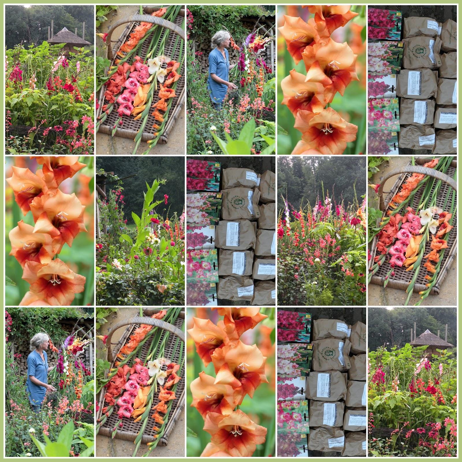 Gladiolen in onze pluktuin