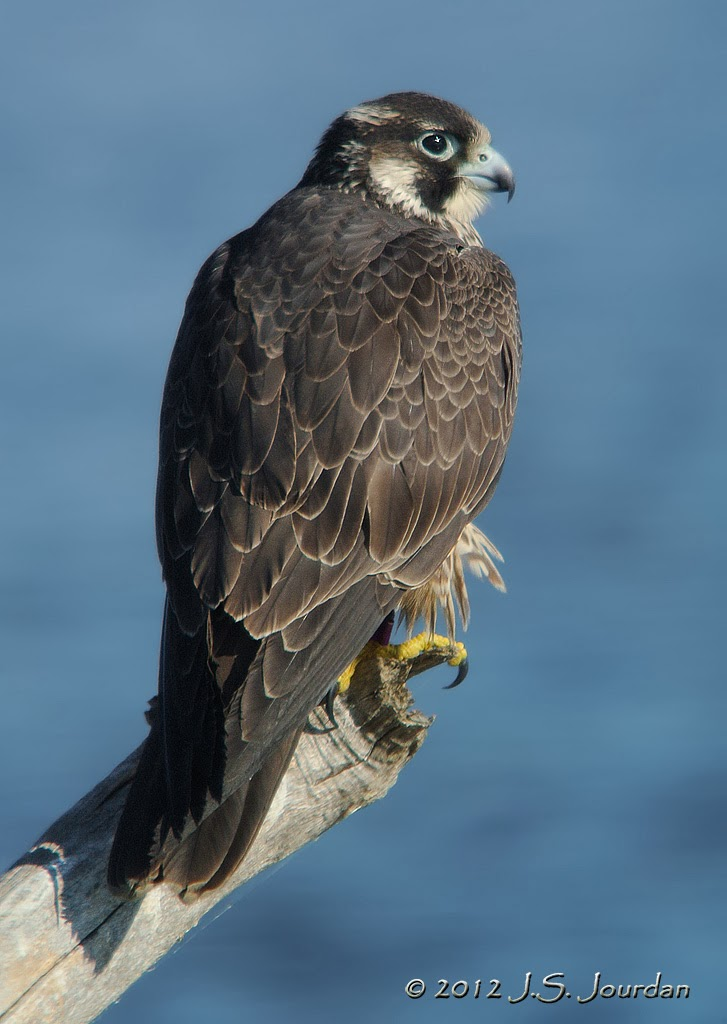 2012 Digiscoping Gallery
