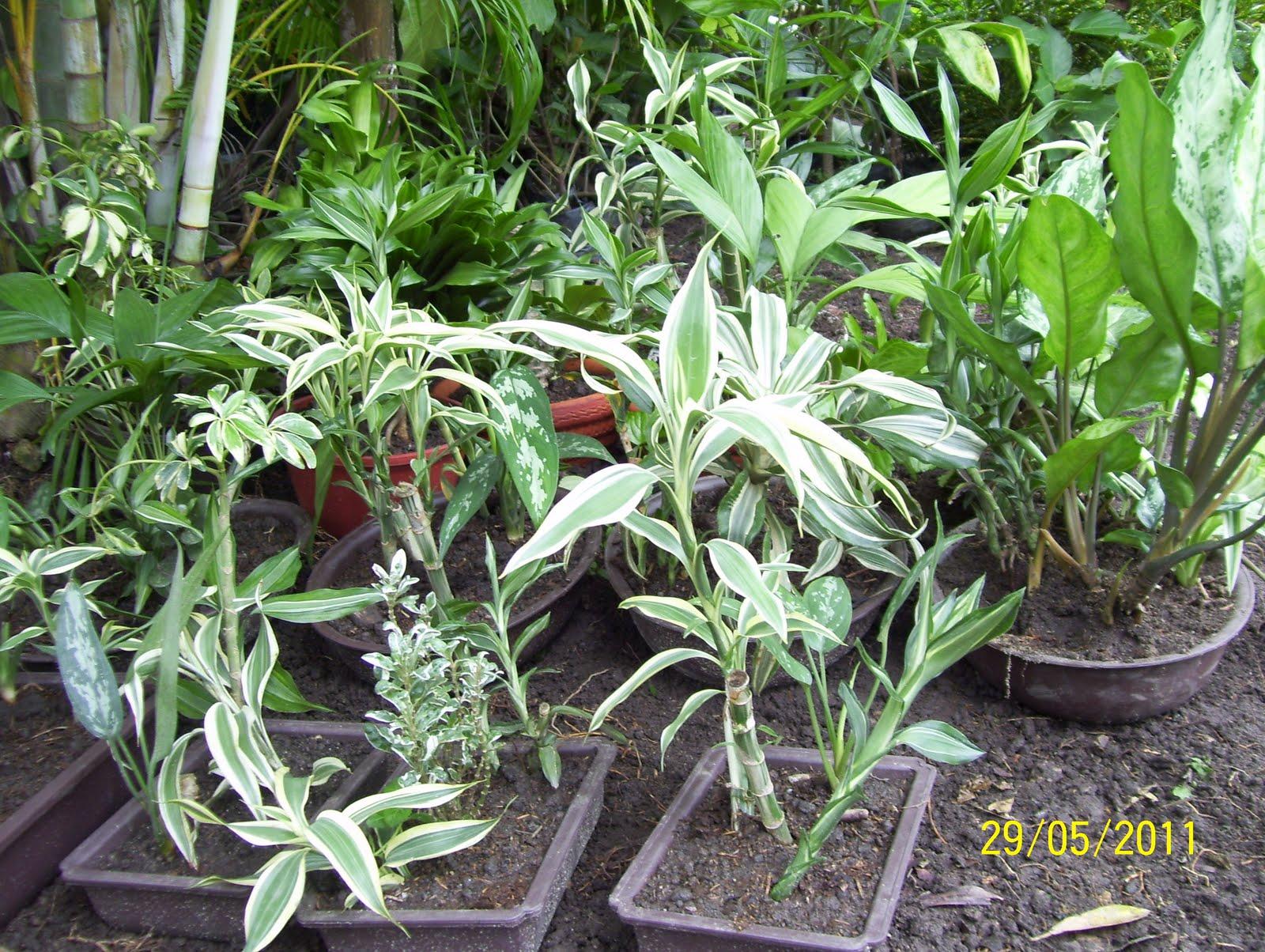 Vivero los chaguaramos plantas ornamentales for Vivero agronomia