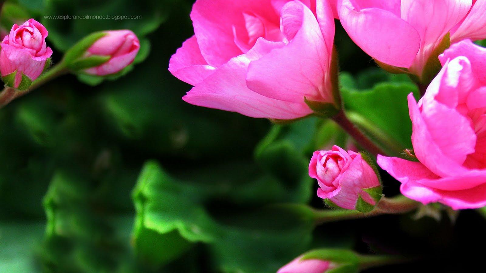 http://3.bp.blogspot.com/-vYpdI7WGYk0/TftcVCDAPsI/AAAAAAAACKY/IbofofGJDQg/s1600/fondale+gerani.jpg