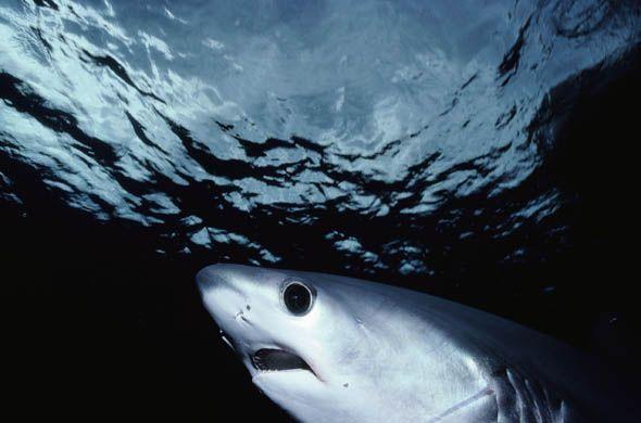 10 Spesies Hiu yang Hampir Punah di Dunia: Big-eye Tresher Shark