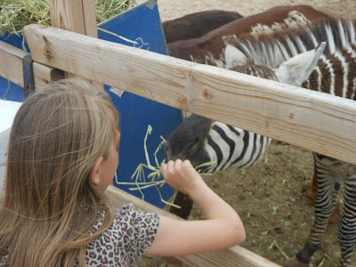 zebra petting zoo