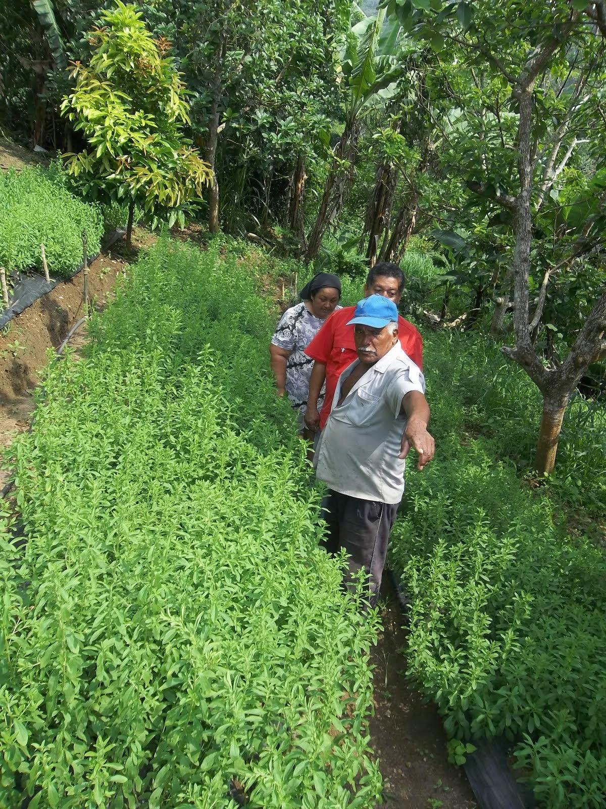 Plantacion en Nirgua Estado Yaracuy