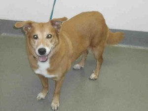 Sasha, a senior red shepherd mix, finds a home