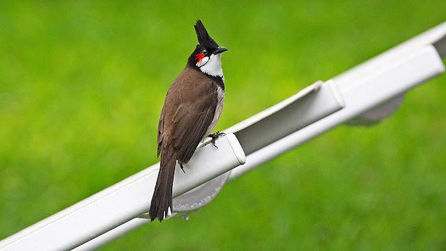 black isola mauritius isle isole maurizius bird birdwatching