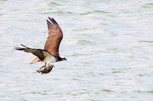 osprey, fish, squawking, flight
