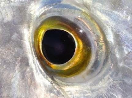 3 parts of fish to check before buying for Fish eye skin