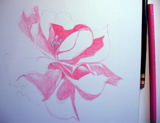 First Photo of Work in Progress - Color Pencil Drawing of a Pink Rose