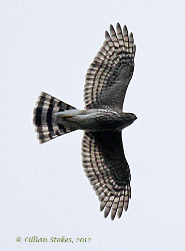STOKES BIRDING BLOG: Hawks are flying and many more to ...   382 x 518 jpeg 73kB