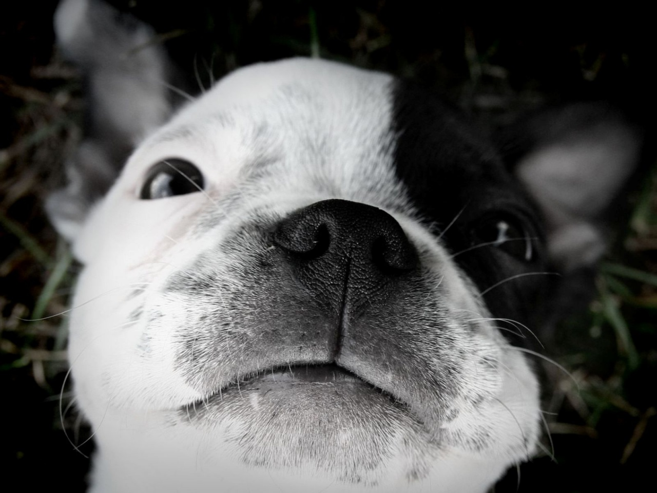 Cute puppy dogs cute boston terrier puppies