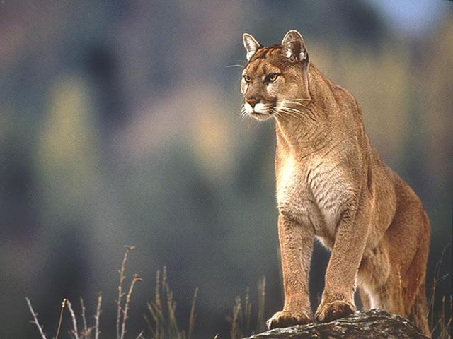 The Puma   A Beautiful Wild AnimalPuma Animal Jumping