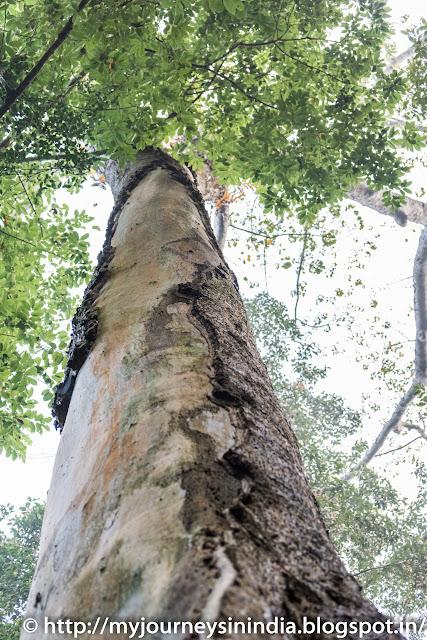 Thattekad Trees