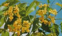 Manfaat angsana bagi lingkungan terutama sebagai pohon peneduh