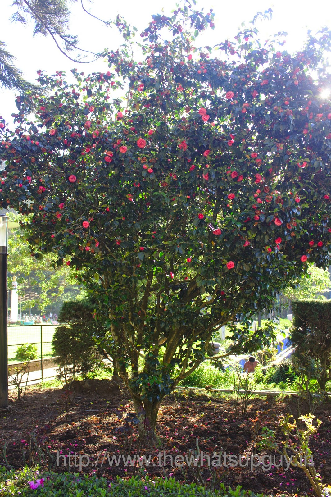 Rose Tree In Bryant Park Kodaikanal