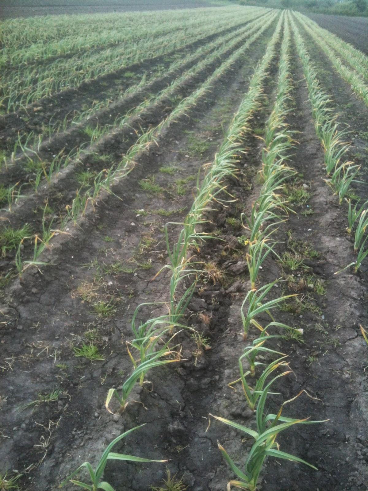 Field scale garlic growing.