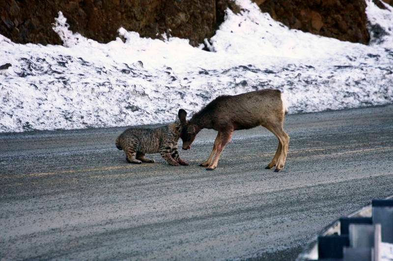 Humans can kill more deer than wolves bobcat killing fawn