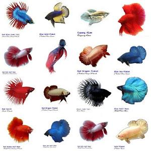 macam jenis ikan cupang
