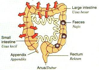 Penyerapan semula air dan penyahtinjaan di usus besar