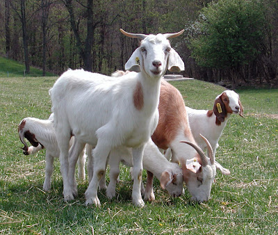 The types and pictures of beautiful goats.