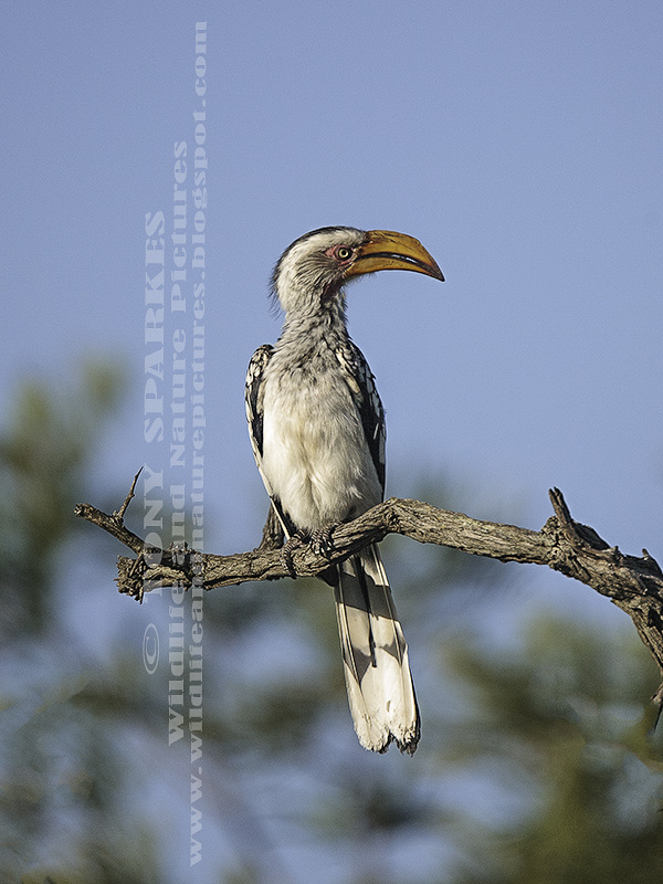 Photograph of a Southern Yellow-billed Hornbill (Tockus leucomelas) perching on a branch.