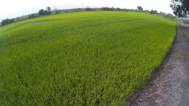 Left Paddy field