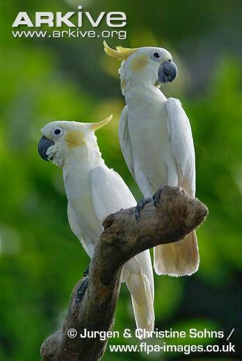 Kakatua Kecil Jambul Kuning (Cacatua sulphurea)