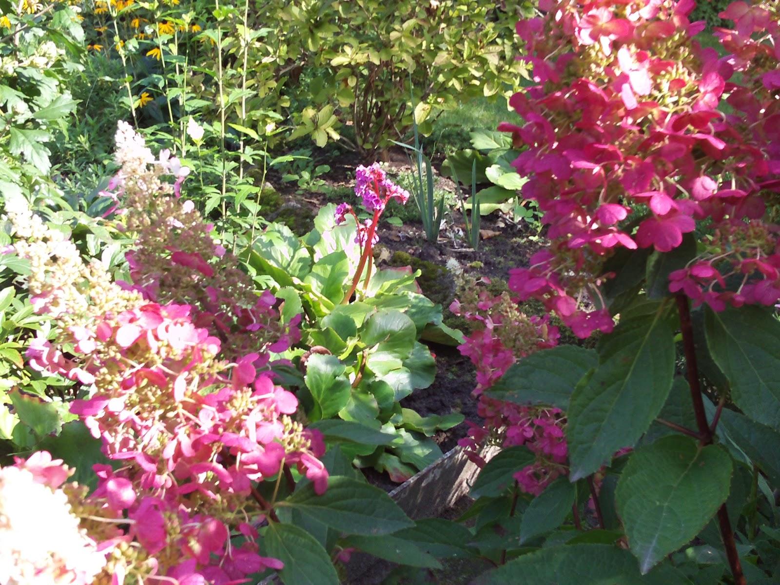 rispenhortensie pinky winky hydrangea paniculata gartenelfe. Black Bedroom Furniture Sets. Home Design Ideas