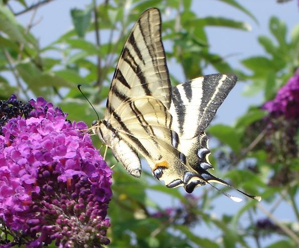 BUDDLEIA : L'ARBRE AUX PAPILLONS Buddleya+arbre+aux+papillons