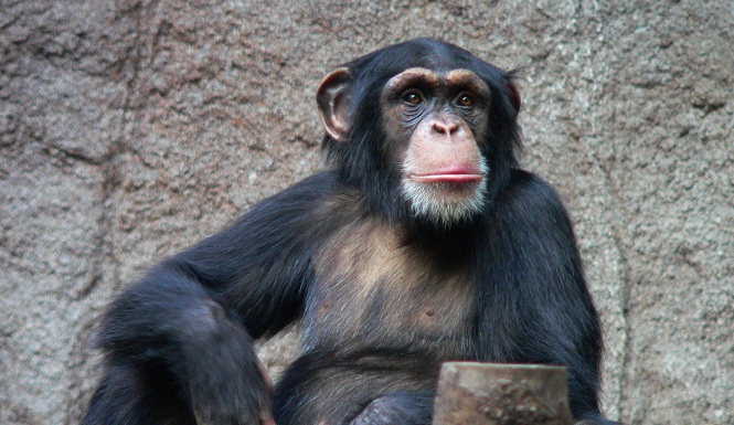 chimp addicted to porn at spanish zoo