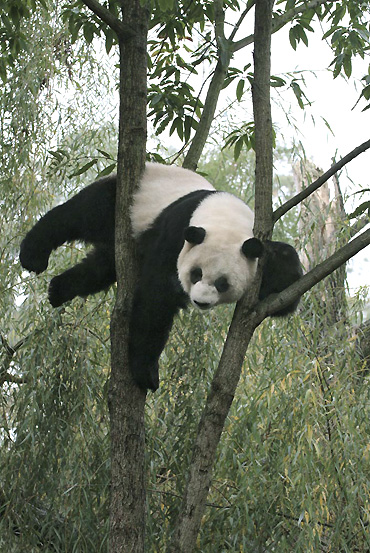 information about the habits and life of the giant panda bear Giant pandas behavior — what do they do all day a giant panda needs about 12 to 38 kilograms of food per day read more about giant pandas life cycle.