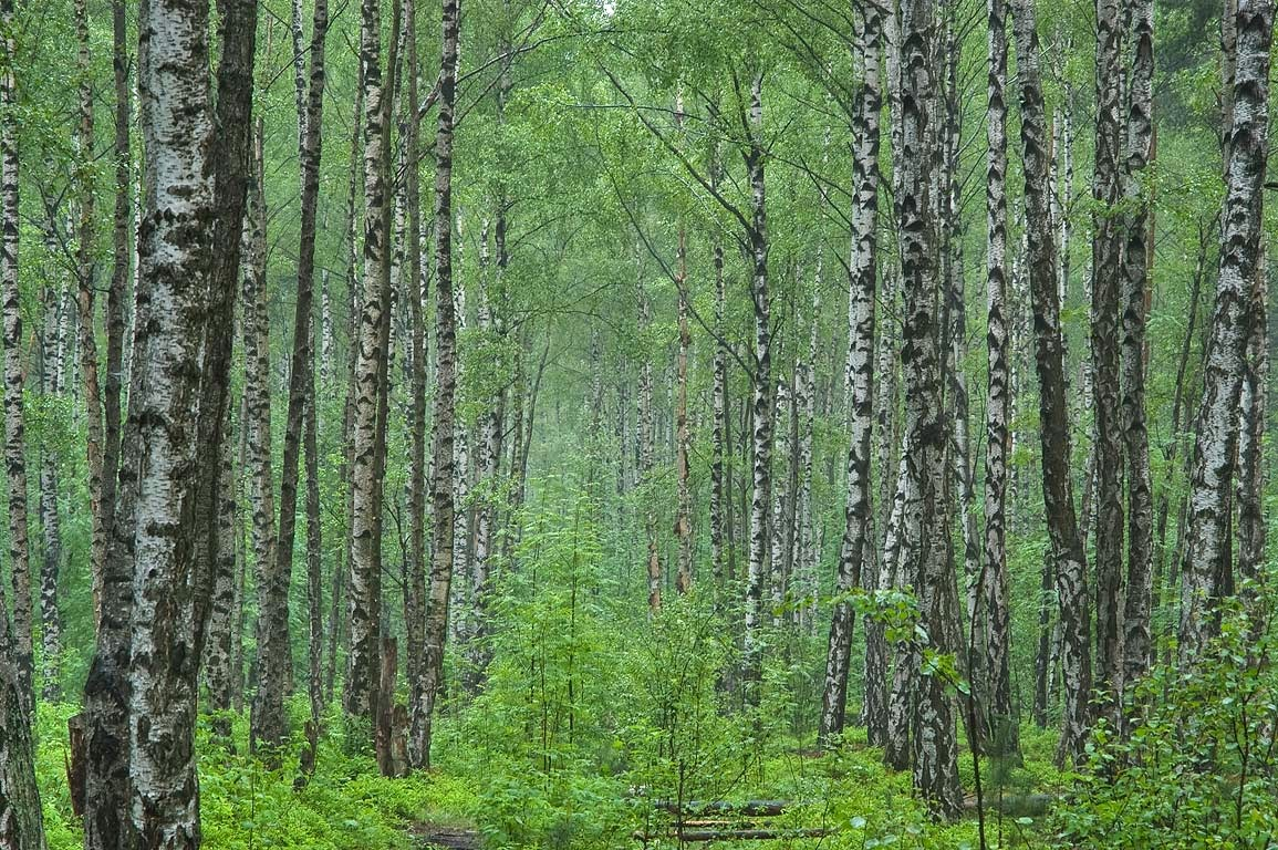 Beautiful Russian forest