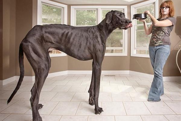 El perro mas alto del mundo