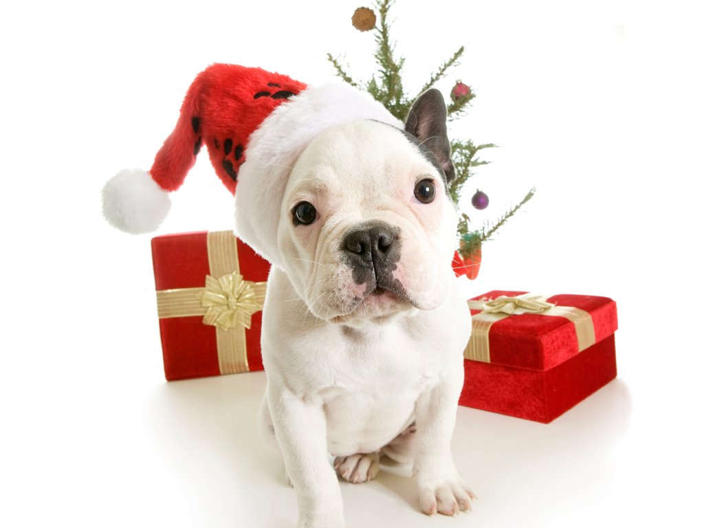 funny christmas bulldog - photo #4
