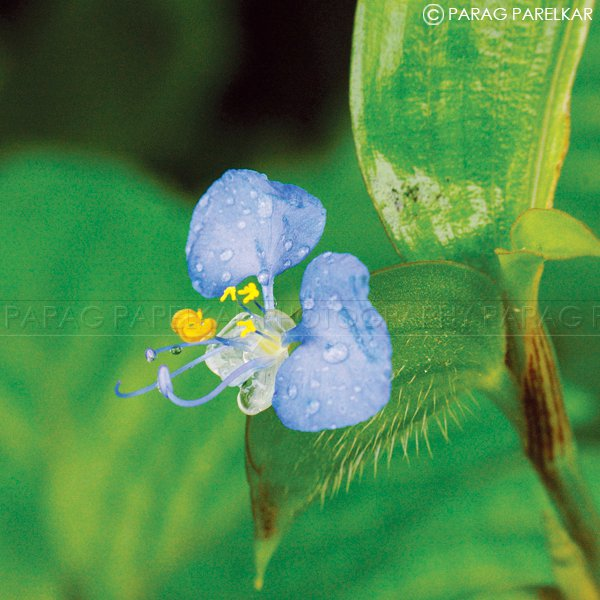 """Commelina Sp Flower""  of ""Nagla Forest"" in Monsoon weather."