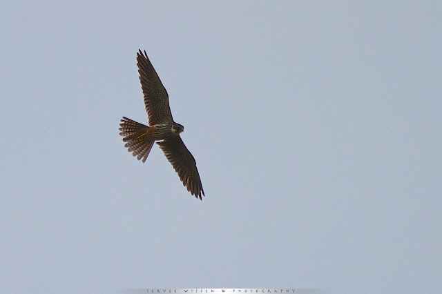 Een Boomvalk jaagt op insecten - Eurasian Hobby hunting for insects - Falco subbuteo