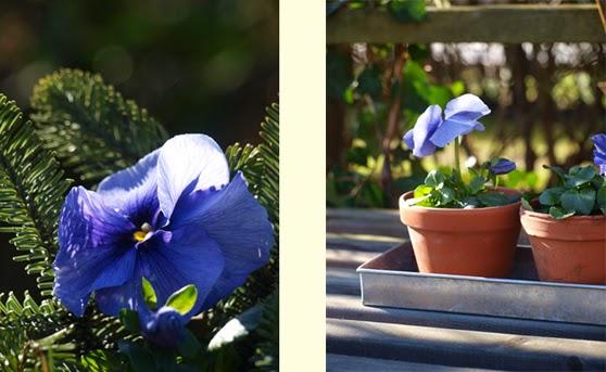 En let og billig måde at få blomster i haven i marts