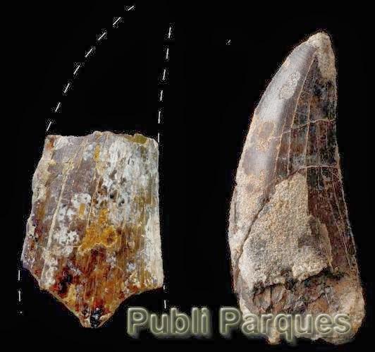 Grandes dientes de carnívoros megalosáuridos de unos 10 cm de longitud procedentes de los municipios turolenses de Formiche Alto (izquierda) y Riodeva (derecha)