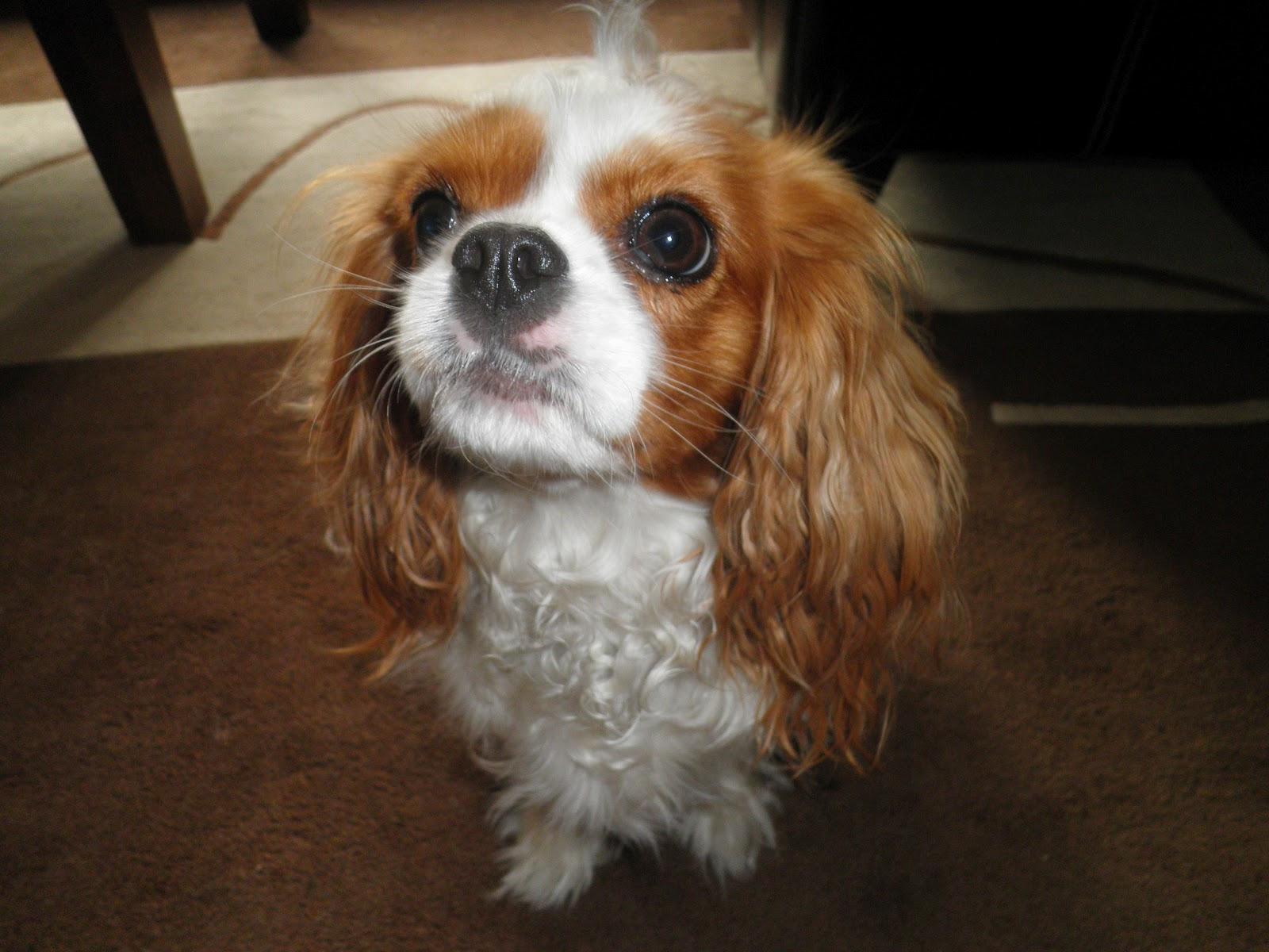 Cavalier King Charles Spaniel. Najpiękniejszy pies na świecie ♥
