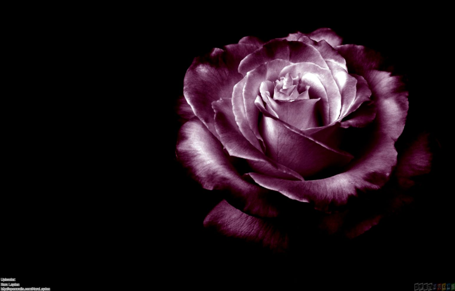 Rose Black Background   WallpaperSafari