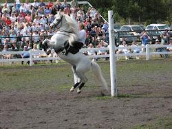 Lippizzaner Stallions