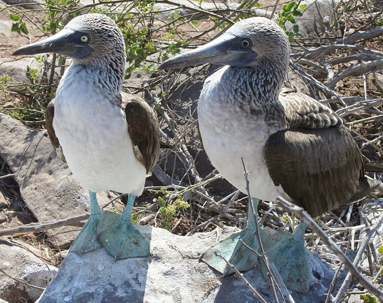 A male and a female blue footed boob