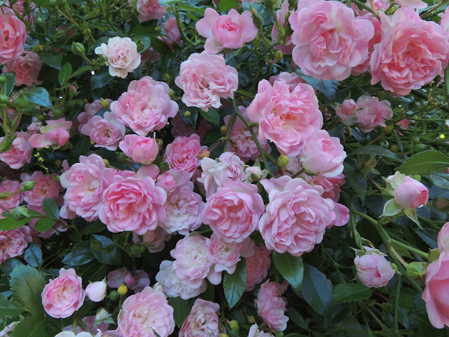 rose du jardin