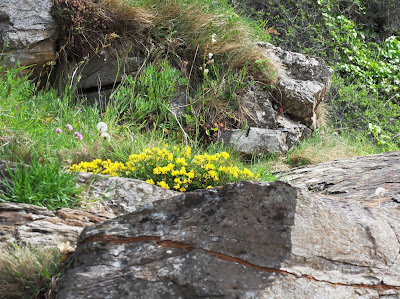 Yellow flowers on cliffs at Cornwall