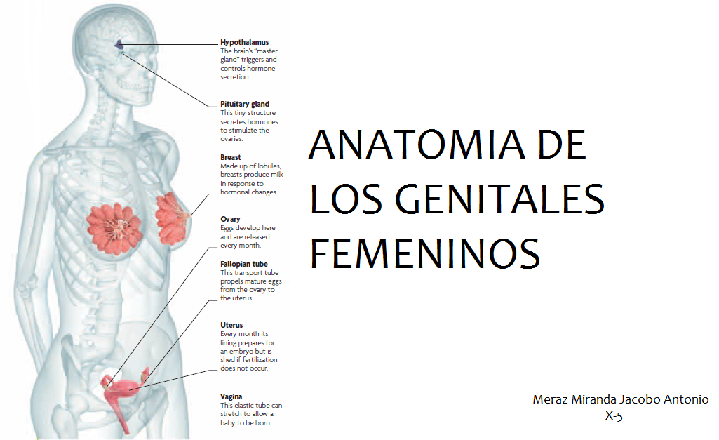 Ginecolog 237 A Y Obstetricia Anatom 237 A De Genitales Femeninos